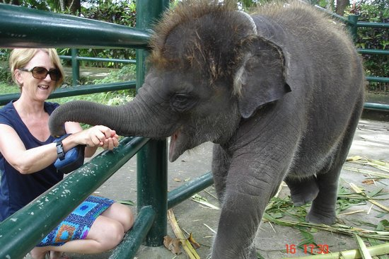 Elephant Safari Park: Feeding baby some sweet potatoe