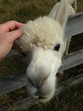 Stoneleigh Lodge: Friendly alpacas!