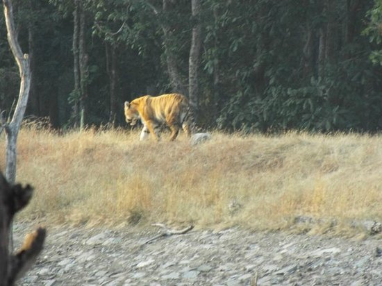 Tiger 'n' Woods: Tiger in one of our Safari
