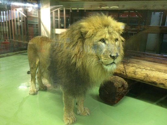 Maruyama Zoo: 雄ライオン「リッキー」