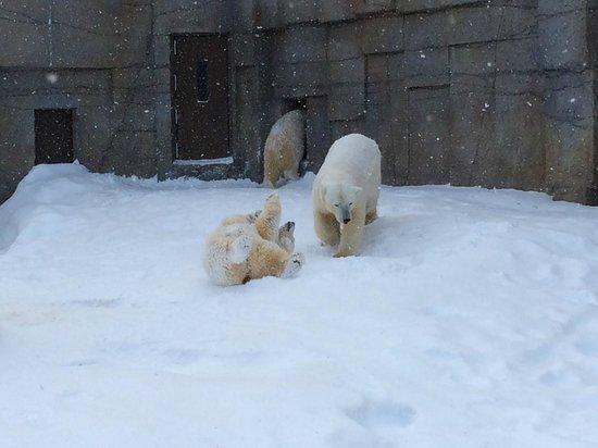 Maruyama Zoo: 雪の中ではしゃぐホッキョクグマ