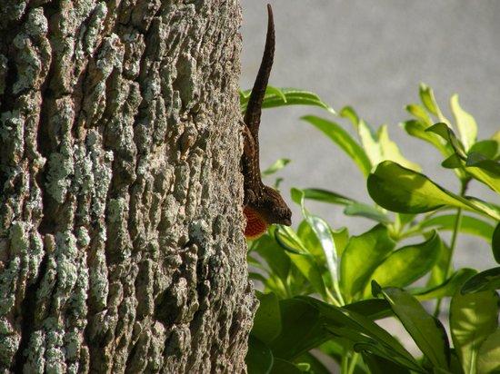 Sheraton Vistana Resort Villas- Lake Buena Vista : Critters you'll see onyour walks.
