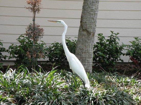Sheraton Vistana Resort Villas- Lake Buena Vista : Wildlife on the resort grounds. Always fascinating to watch.