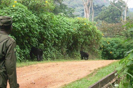 Gorillas vor der Buhoma Lodge