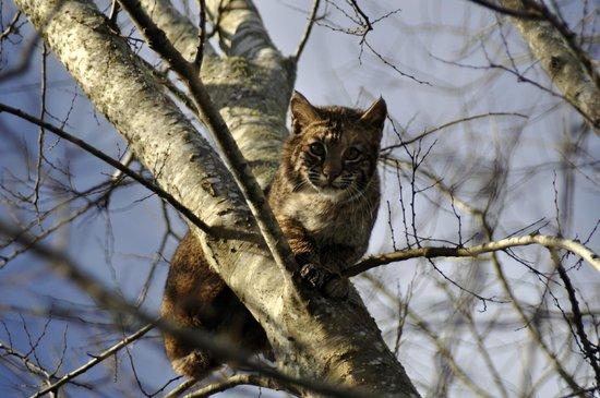 Paynes Prairie Preserve State Park: Juvenile Bobcat