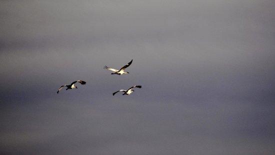 Paynes Prairie Preserve State Park: Sandhill Cranes