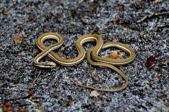 Paynes Prairie Preserve State Park: Ribbon Snake
