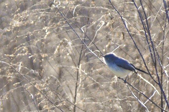 Paynes Prairie Preserve State Park: Blue-Grey Gnatcatcher