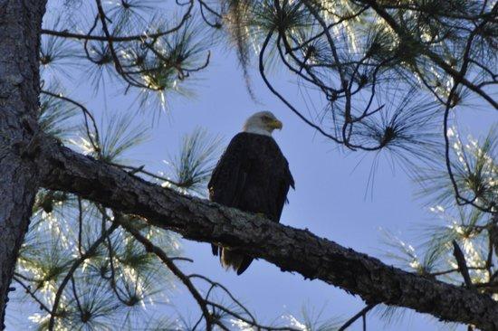 Paynes Prairie Preserve State Park: Bald Eagle