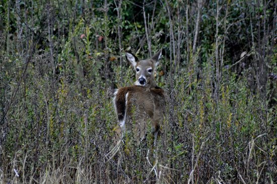 Paynes Prairie Preserve State Park: White Tailed Deer