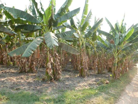 Innwa : plantaciones
