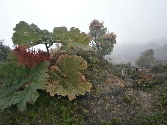 Morgan's Cove Resort & Casino : Plantes sur le volcan Poas (parapluie des pauvres)