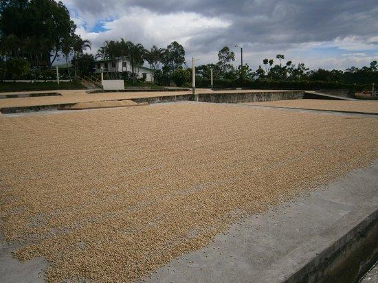 Beach Break Resort : Séchage au soleil des grains de café
