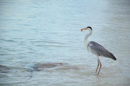 Jumeirah Vittaveli: One of the many local Maldivian Ibis birds trying to get in on the sting ray fish feed