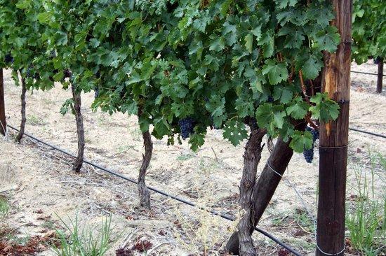 Lovane Boutique Wine Estate and Guest House: vine