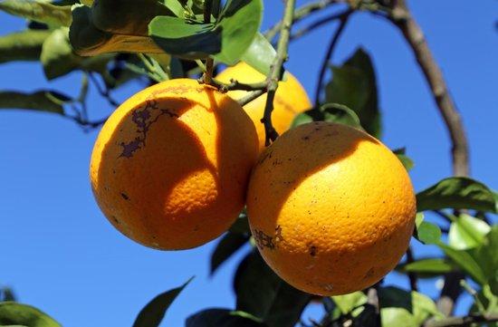 Honeybell Oranges @ Al's Family Farms