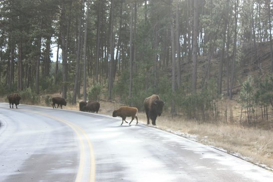 Custer State Park: Buffalo on the road