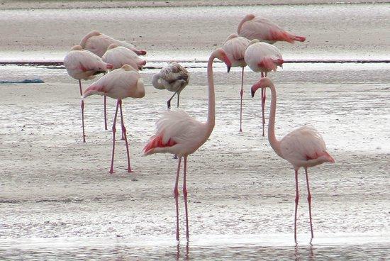 Sofitel Agadir Royal Bay Resort: Souss Massa National Park - Flamingos