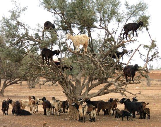 Sofitel Agadir Royal Bay Resort: Goats in Trees on the way to Taroudant