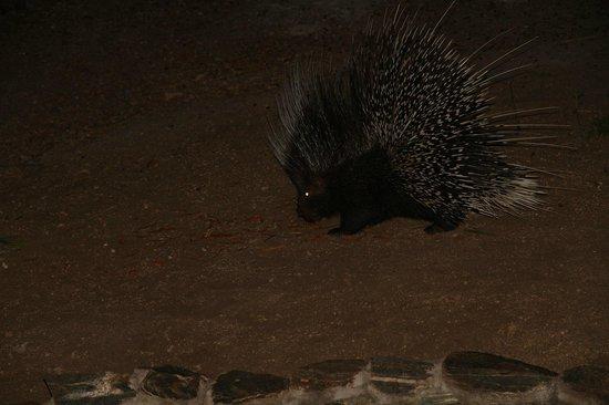 Kurhula Wildlife Lodge : Elke avond kregen we bezoek van het stekelvarken