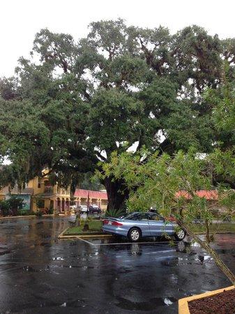 Howard Johnson Inn - Historic ST. Augustine FL : historic tree