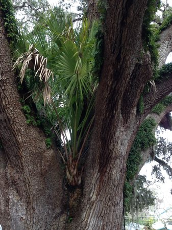 Howard Johnson Inn - Historic ST. Augustine FL : palm tree in tree