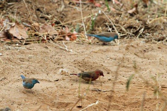 Kurhula Wildlife Lodge : Vele vogels zoals Vuurvinken, Blauwfasantjes