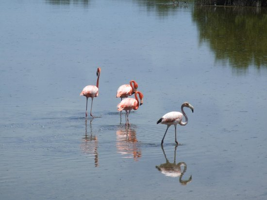 Gran Caribe Club Villa Cojimar: Flamingos