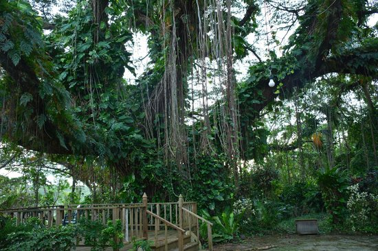 Yap Pacific Dive Resort: the Big tree in the garden - fantastic