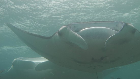 Yap Pacific Dive Resort: Manta rays passing half a meter above me (Yap special dives)