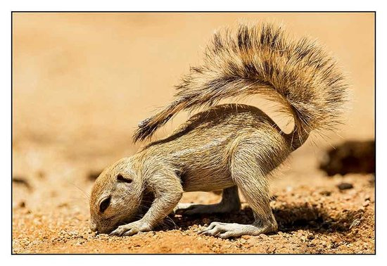 Solitaire bakery: Ground Squirrel