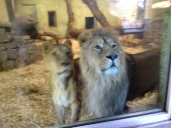 Edinburgh Zoo: Upclose with the lions