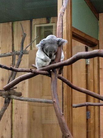 Edinburgh Zoo: Koala's
