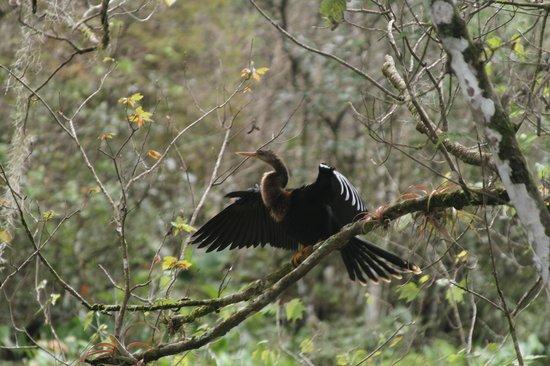 Corkscrew Swamp Sanctuary: Drying His Wings