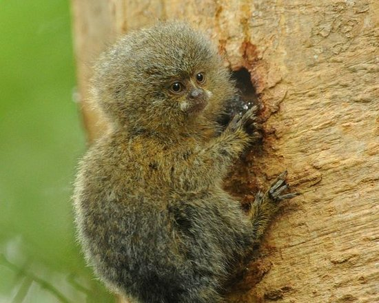 Amazonia Expeditions' Tahuayo Lodge : Pygmy Marmoset baby