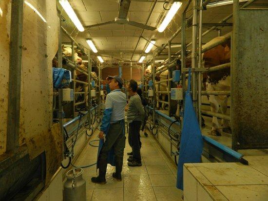 Le Relais De Libreval: La traite des vaches