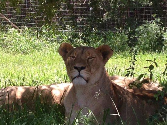 Lion and Safari Park: Strong