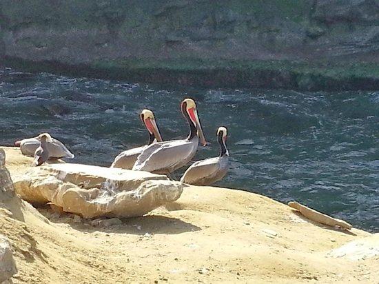 La Jolla Cove : Pelicans
