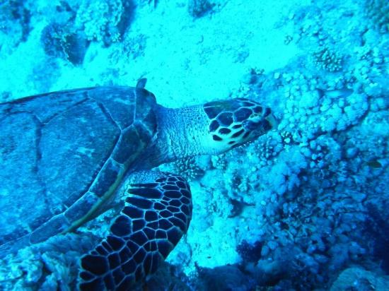 Sinai Dive Club : Photo of turtle taken whilst swimming alongside.