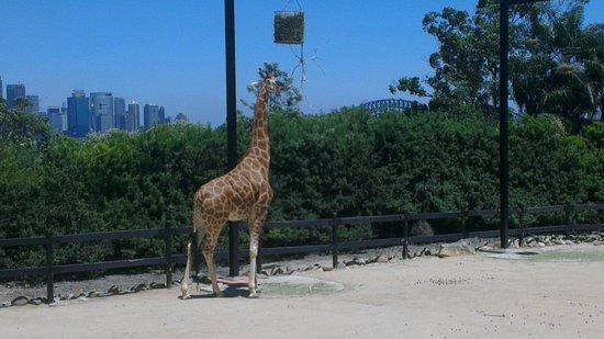 Taronga Zoo: Giraffe