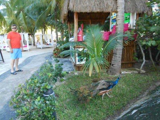 Grand Oasis Palm: Pretty peacock 2