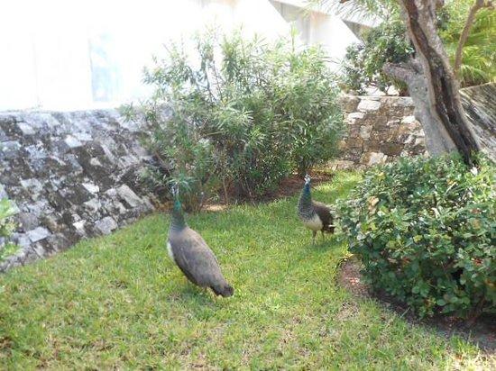 Grand Oasis Palm: pretty peacocks