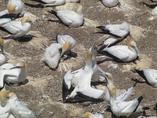 Muriwai Gannet Colony: Gannet baby feeding