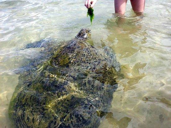 YKD Tourist Rest: Feeding a sea turtle