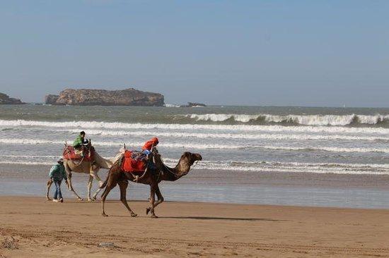 Essaouira Beach : Camels on the beach!