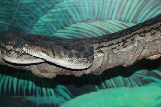 Currumbin Wildlife Sanctuary : Snake not as popular as other animals...