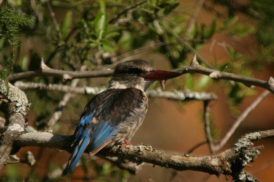 Hopewell Lodge : Brown hooded kingfisher