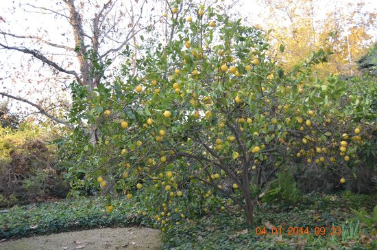 Barbakfar: Arbol de Naranja