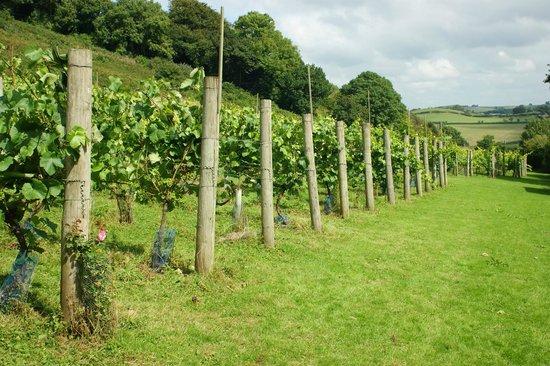 Swimbridge, UK: Bottom vineyard