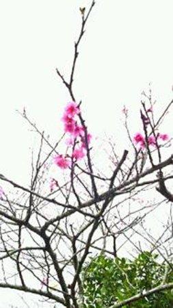 Sueyoshi Park : 桜(緋寒桜の開花宣言)